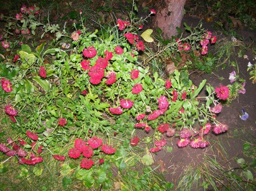 Deep Burgundy Chrysanthemum