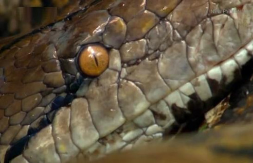 Snake scaly head and lidless eye