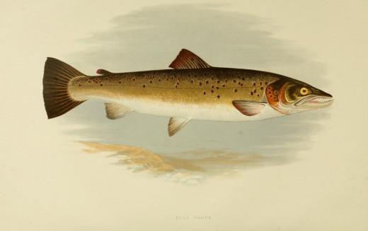 British freshwater fish { 1879}