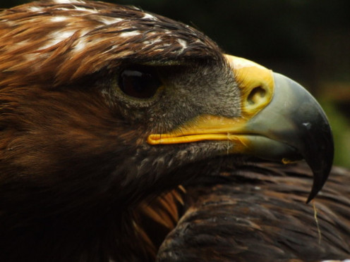 Copyright Alex Hay and licensed for reuse under this Creative Commons Licence. Golden eagle at the bird of prey centre in Hagley (Alex Hay) / CC BY-SA 2.0