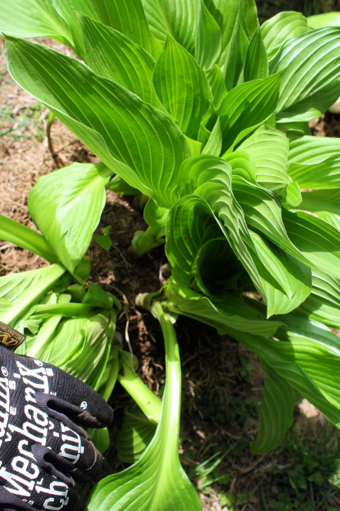 Find a Good Splitting Point for Hostas.