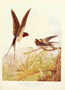 It was once believed that swallows spent the winter hidden in mud at the bottom of lakes and ponds.