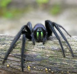 The Cellar Spider (Segestria Florentina)