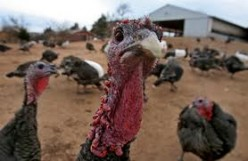 Aspects of Life on the Turkey Farm
