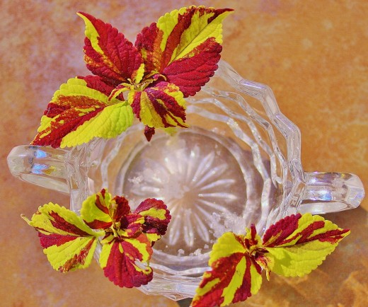 I opted to root my coleus cuttings in style in a vintage Fostoria sugar bowl, but just about any sort of container will do, so long as it doesn't leak.