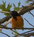 The Beautiful Baltimore Oriole's Life and Facts