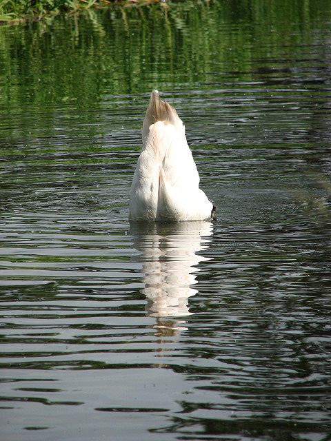 Bottoms up. A solitary swan foraging under water for aquatic plants, insects and algae. View along the River Bure