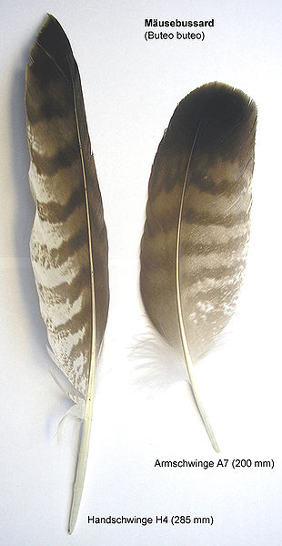 The primary (left) and secondary (right) feathers from a common buzzard.