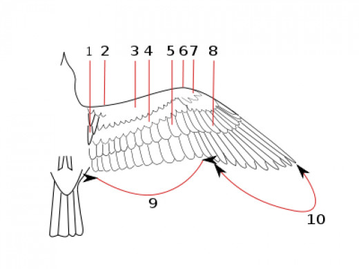 A picture showing an outstretched wing: 1. Axillaries, 2. Margin coverts, 3. Lesser coverts, 4. Median coverts, 5. Greater coverts, 6. Carpal Joint, 7. Lesser primary coverts, 8.Great primary coverts, 9. Secondaries, 10. Primaries.