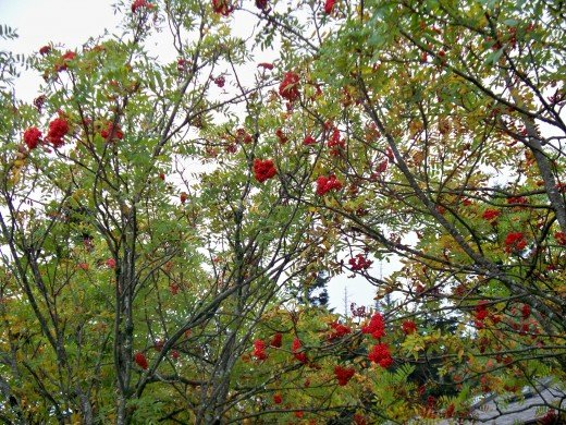 Red berries on a bush near Clingmans Dome