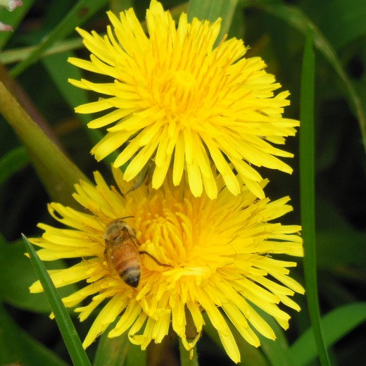 A bee on dandelions
