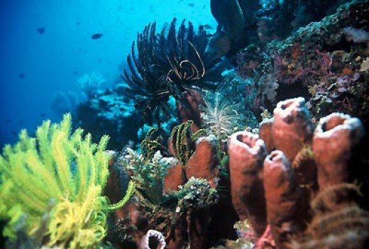 Coral reefs on the Bunaken island