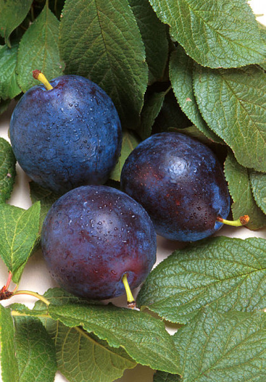 Plums are beautiful and nutritious