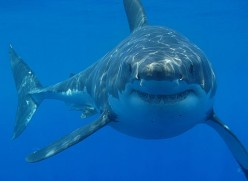 Interesting Facts About The Great White Shark