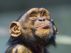 Photographing Chimpanzees