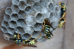Paper Wasp Nest including baby and eggs.