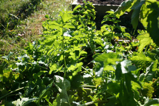 Lush foliage on organic parsnips in my garden.