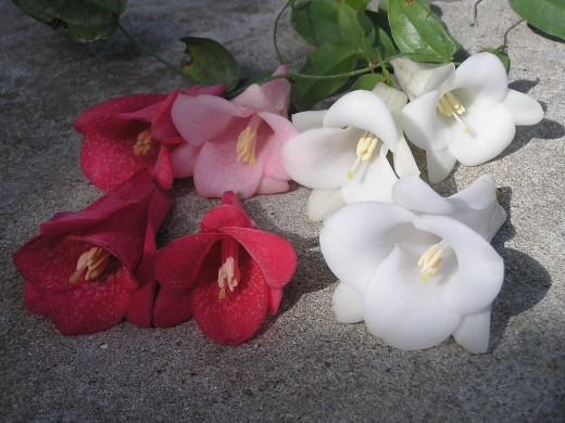A collection of lovely Copihue flowers, showing the red, the pink and the white variety