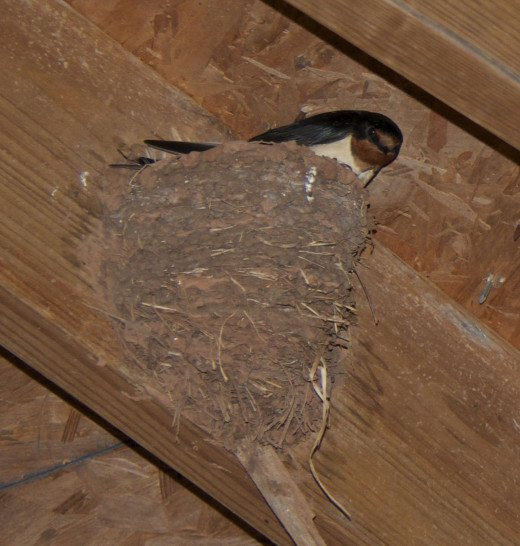 Barn Swallow with Nest
