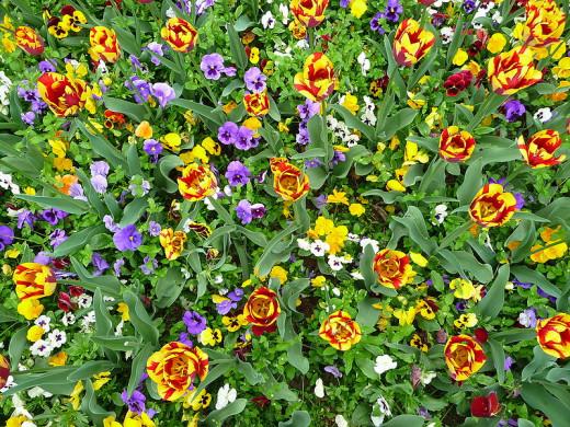 Beet mit Tulpen und Stiefmütterchen