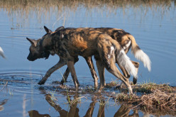 Photo Series-Wild Dogs of Africa