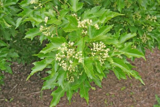 Amur maple flowers