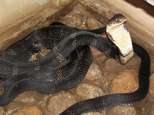 Interesting Facts About The King Cobra | hubpages