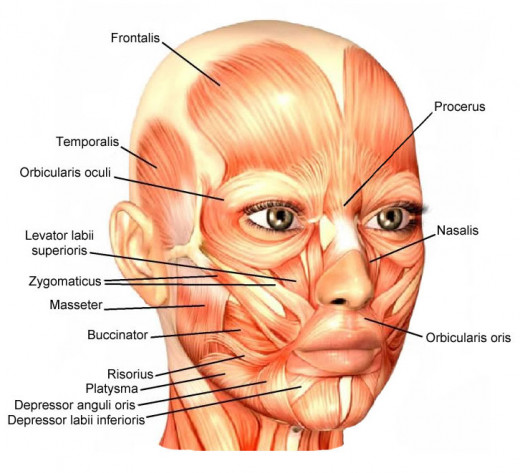 Labeled muscles of the face