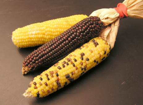 3 types of corn which work to combat greasy or oily hair