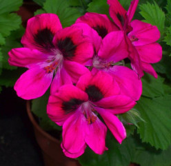 Pelargoniums {geraniums} Their History and Impact on Horticulture