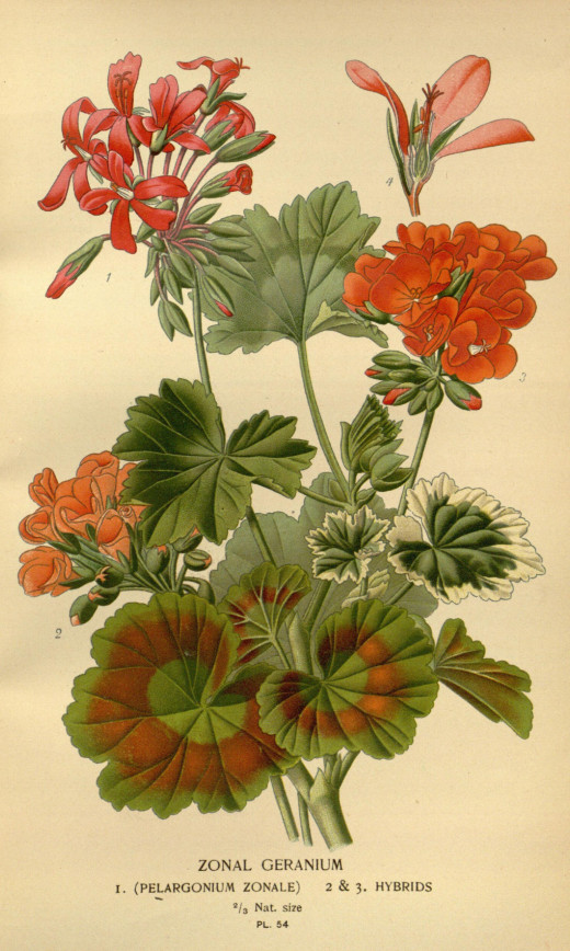 Favourite flowers of garden and greenhouse {1896-97}