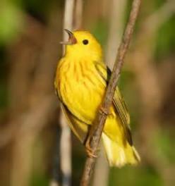 The Chirping Bird (Poem)