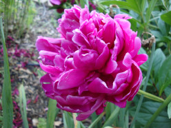Easy Steps to Grow Peonies
