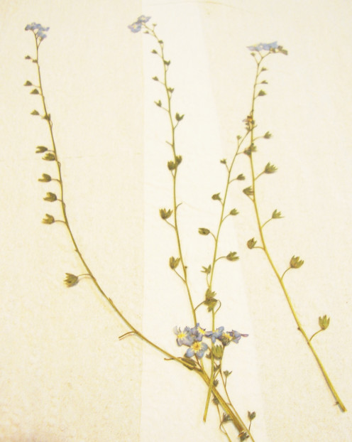 Image: Pressed Forget-Me-Nots
