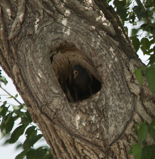 Tree Housing European Starling Nest