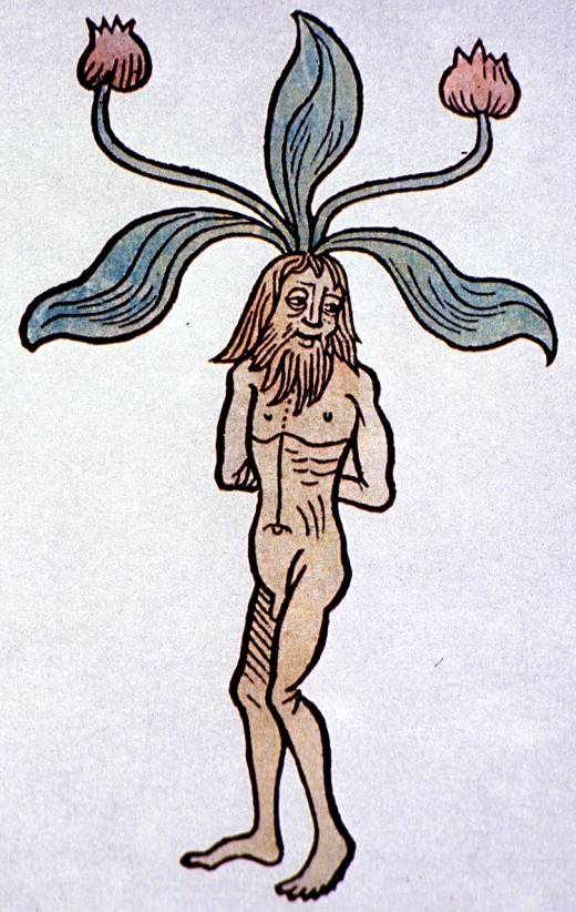 A medieval illustration of the mandrake plant.