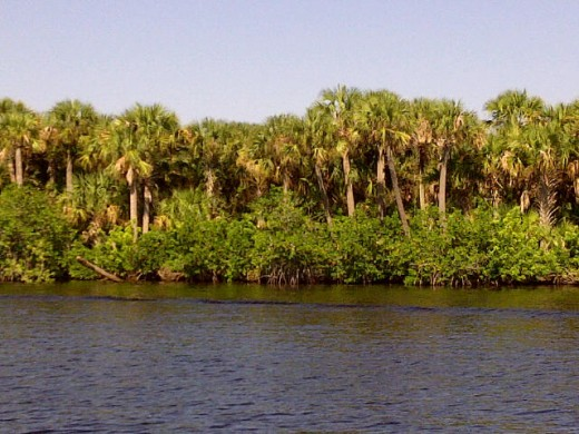 Palms In The St. Lucie River Basin