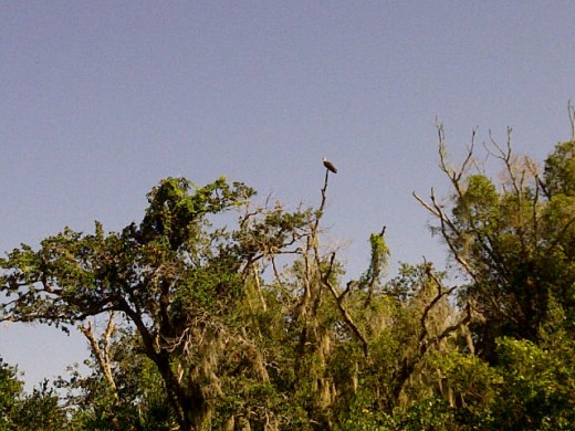 An Osprey On Its Perch