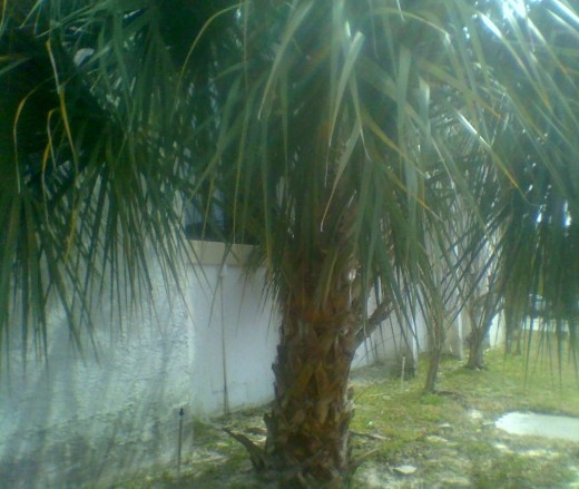 Palm tree at an archaeological site in Florida