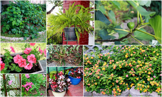 A LITTLE GLIMPSE OF MY GARDEN IN THE CITY OF DOWNTOWN CHARLESTON, SOUTH CAROLINA
