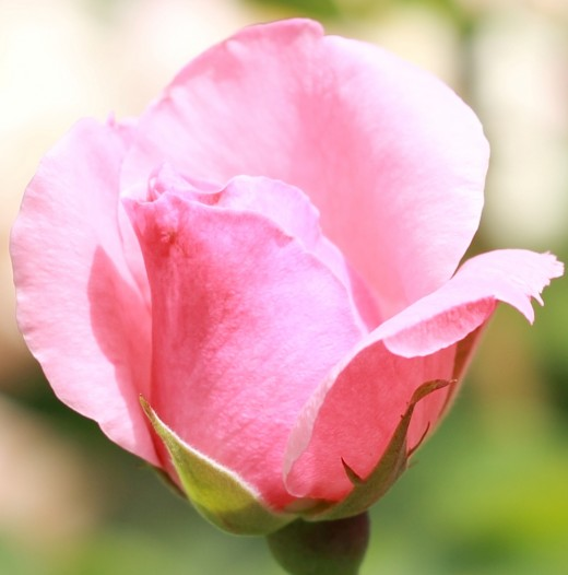 A pink rose - with the aperture set at 3.5 blurs the background bringing the rose into the foreground.