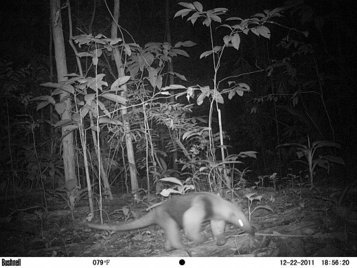 Anteater on Trail Cam