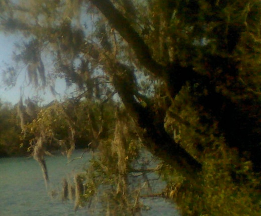 Cypress tree laden with Spanish Moss