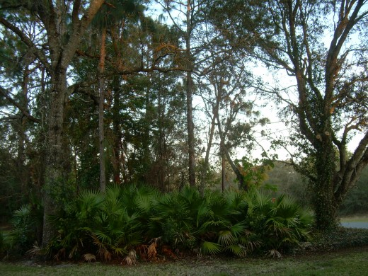 Some dwarf palm trees on my aunt and uncle's Florida property