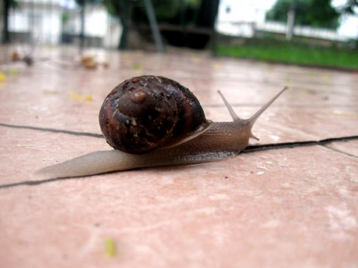 Snails and slugs look much the same, but a snail has a shell.