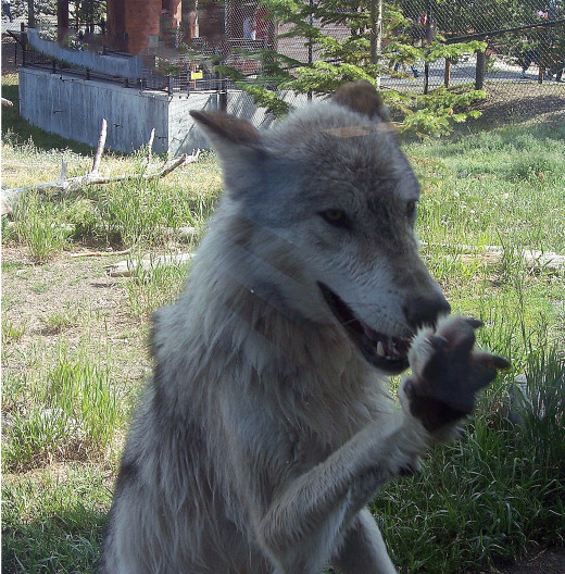 One of the wolves at The Grizzly Discovery Center in West Yellowstone