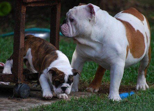 English Bulldogs also look cute to their mothers.