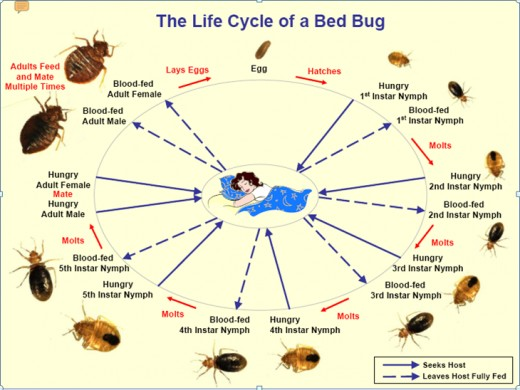 Bed bugs go through several stages of development from the egg to egg laying adults. For each stage, they need a blood meal. Eggs are the most difficult to kill.