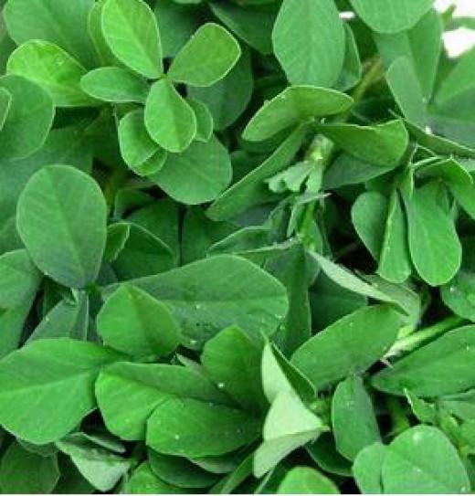Methi leaves