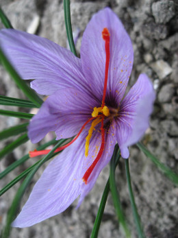 Crocus sativus flower with the orange saffron stigma.